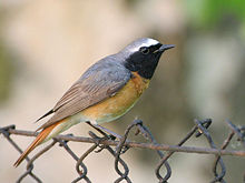 220px-Phoenicurus_phoenicurus_male(ThKraft)