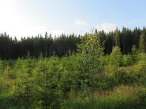 Smrk na holinách,jako přípravná dřevina,stav 7 let po kalamitě Kiryll