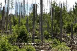 Přirozená obnova v bezzásahovém území u Ztraceného v NP Šumava